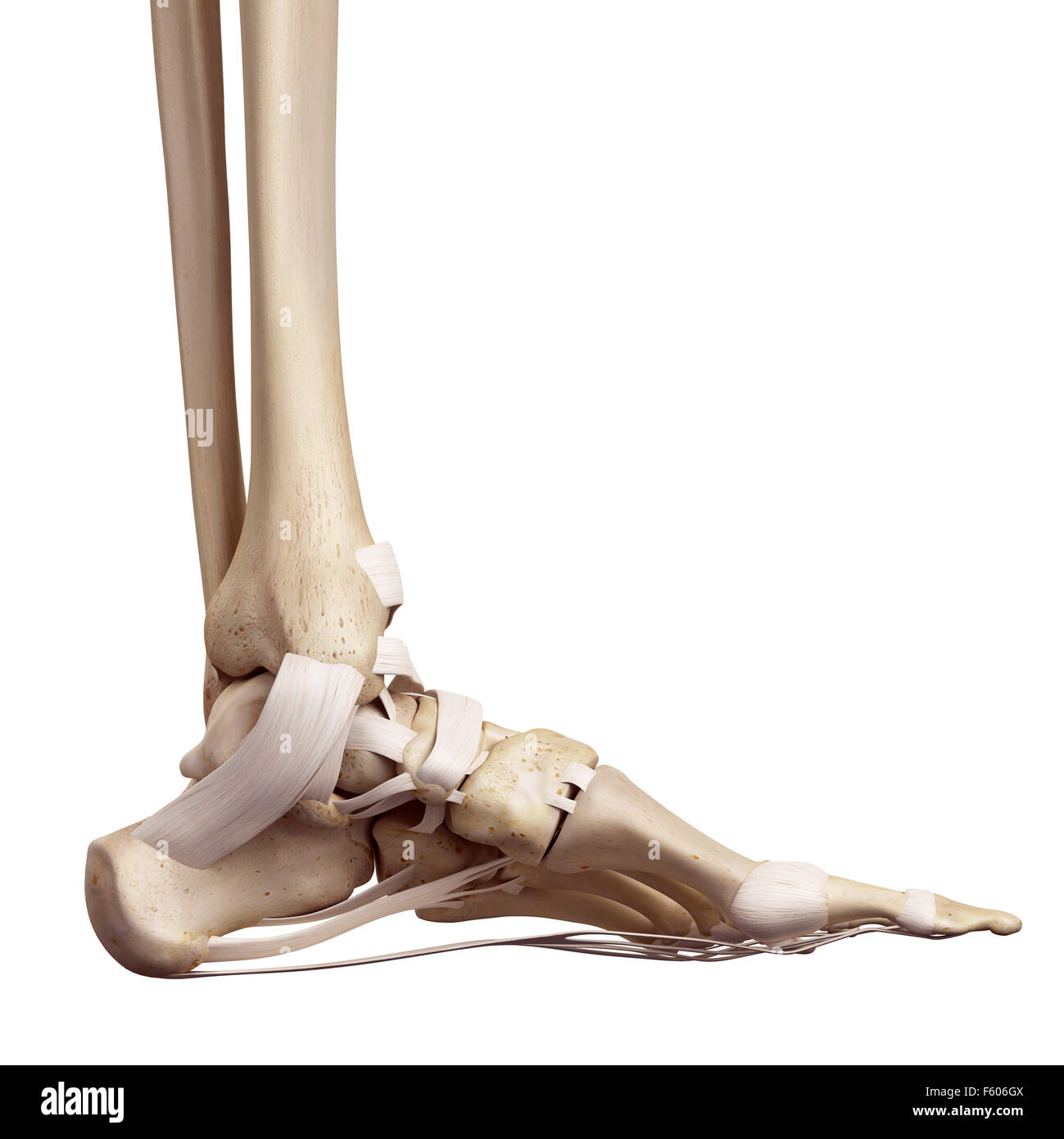 Foot Ligament Imágenes De Stock & Foot Ligament Fotos De Stock - Alamy