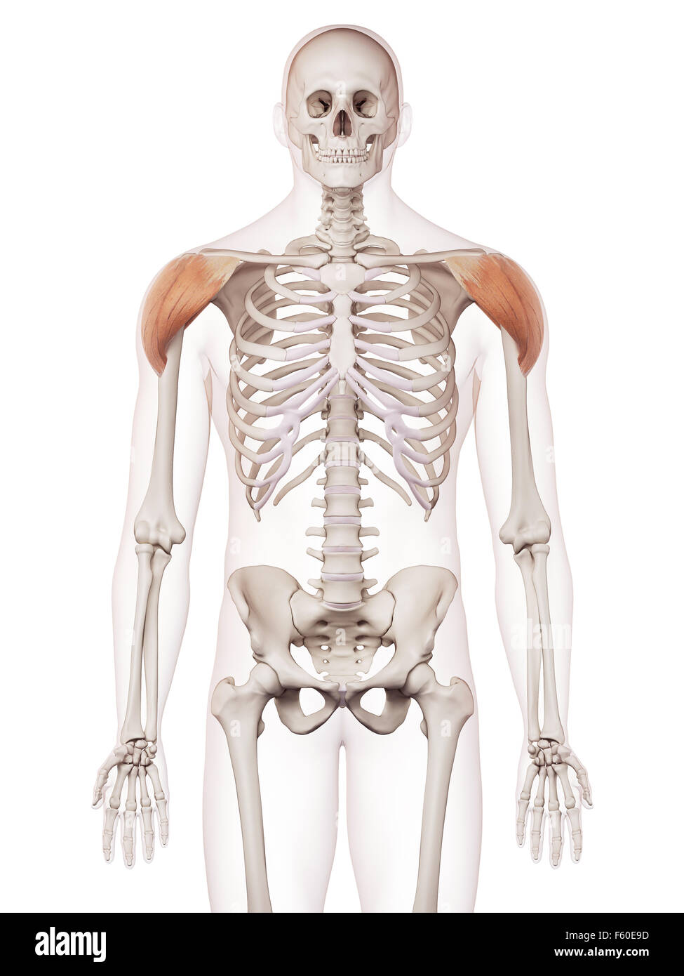 Médicamente adecuada ilustración del músculo deltoides Foto & Imagen ...