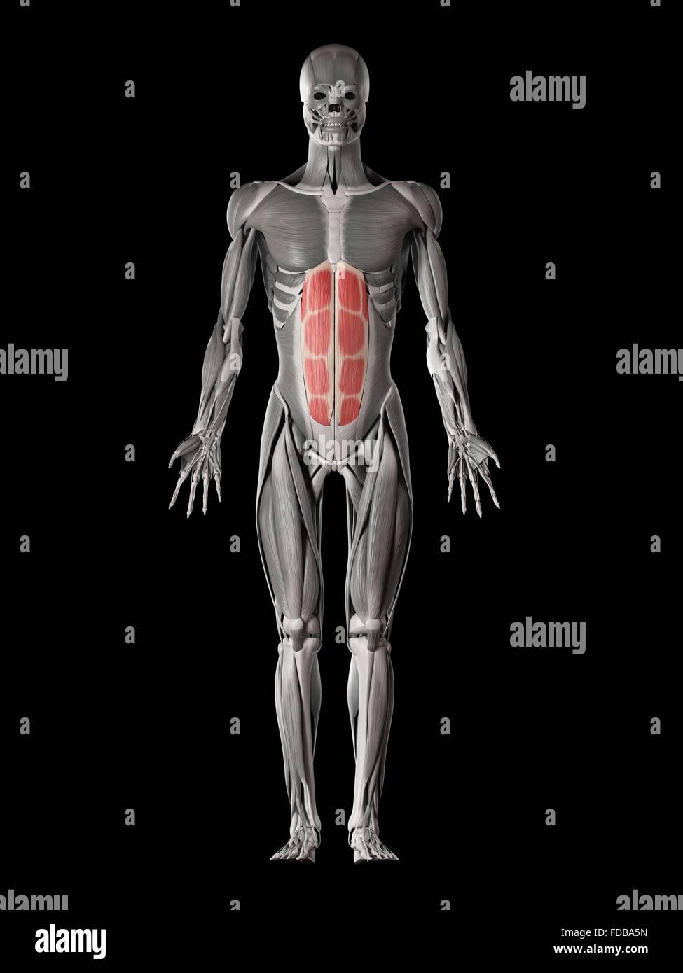 Derechos de los músculos abdominales (rectus abdominis), ilustración ...