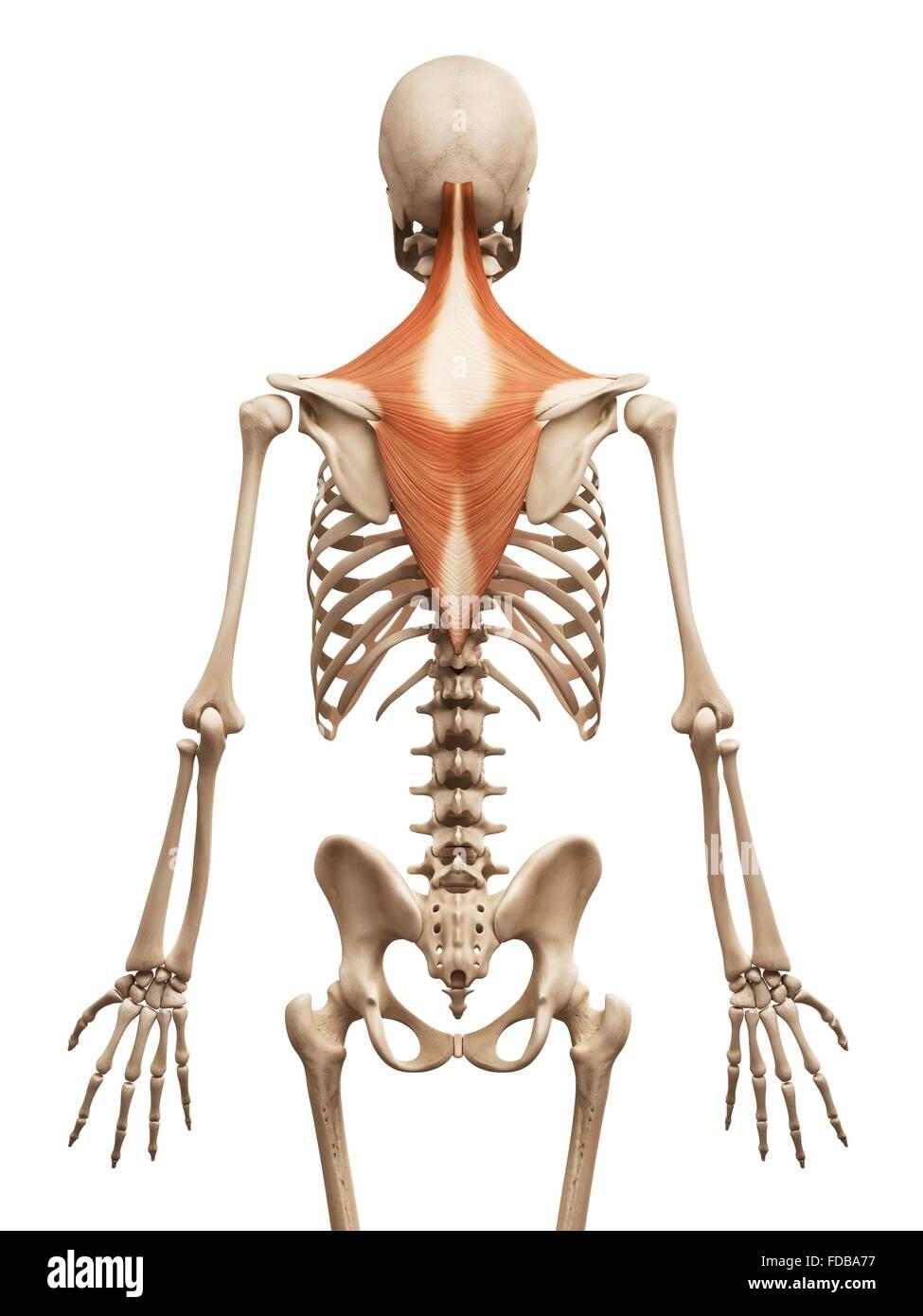 Derechos músculos de la espalda (trapecio), ilustración Foto ...