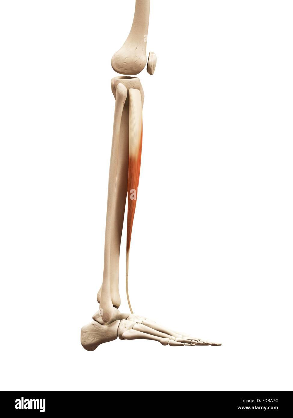 Derechos los músculos inferiores de la pierna (tibial anterior ...