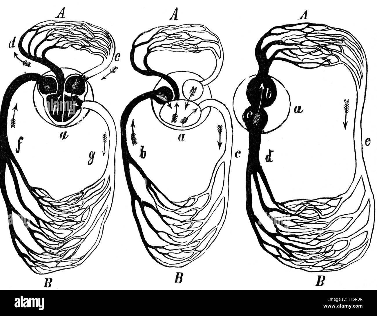La medicina, la anatomía, la circulación de la sangre de mamíferos ...