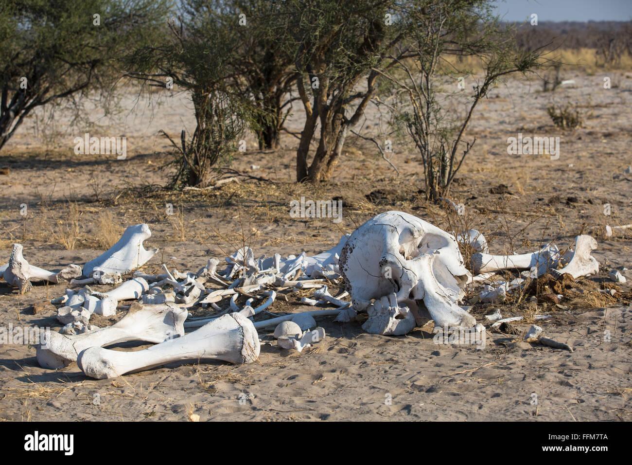 Sun-blancos blanqueados y los huesos del cráneo de un elefante ...