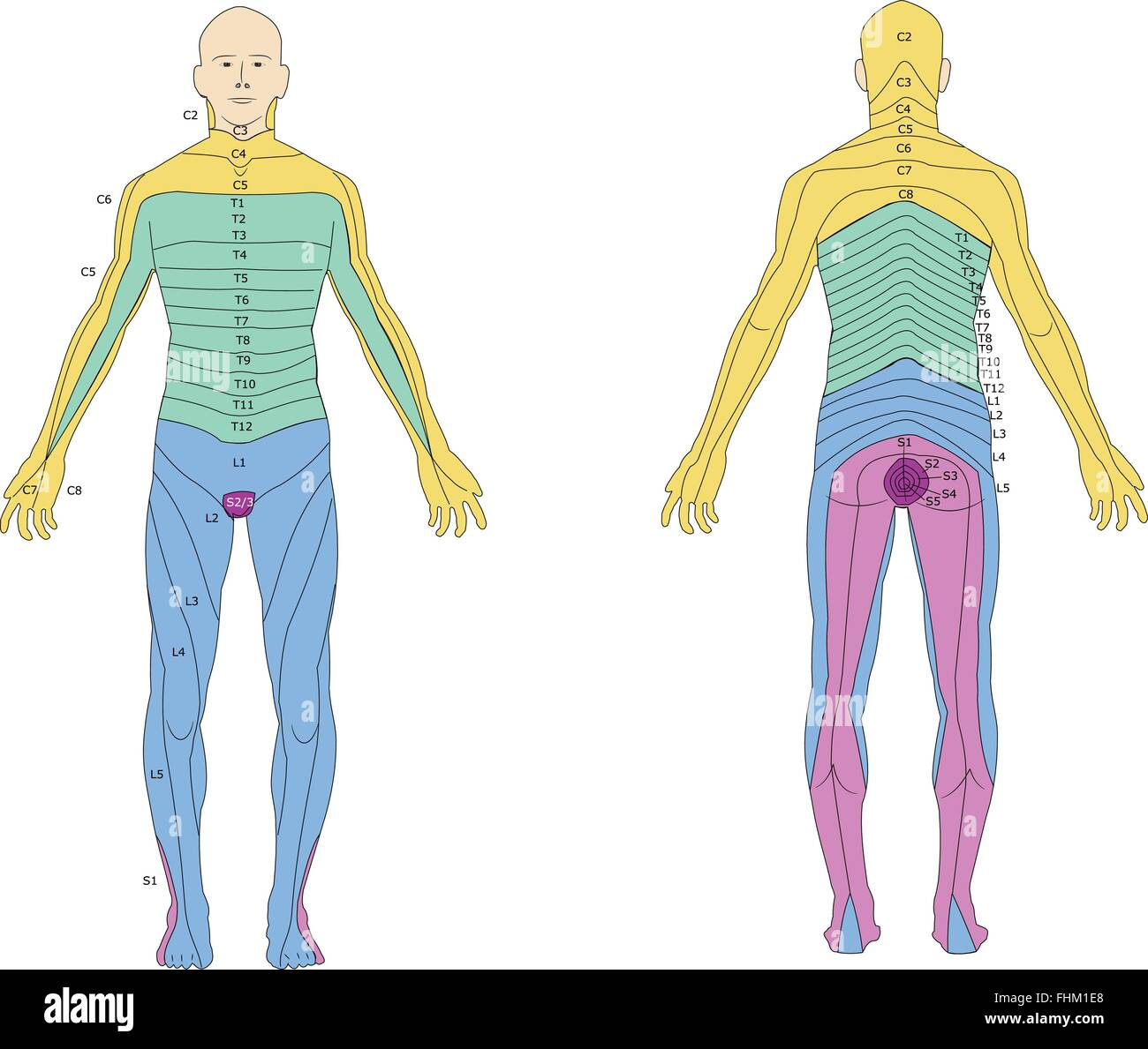 La subdivisión del cuerpo humano en los dermatomas Ilustración del ...