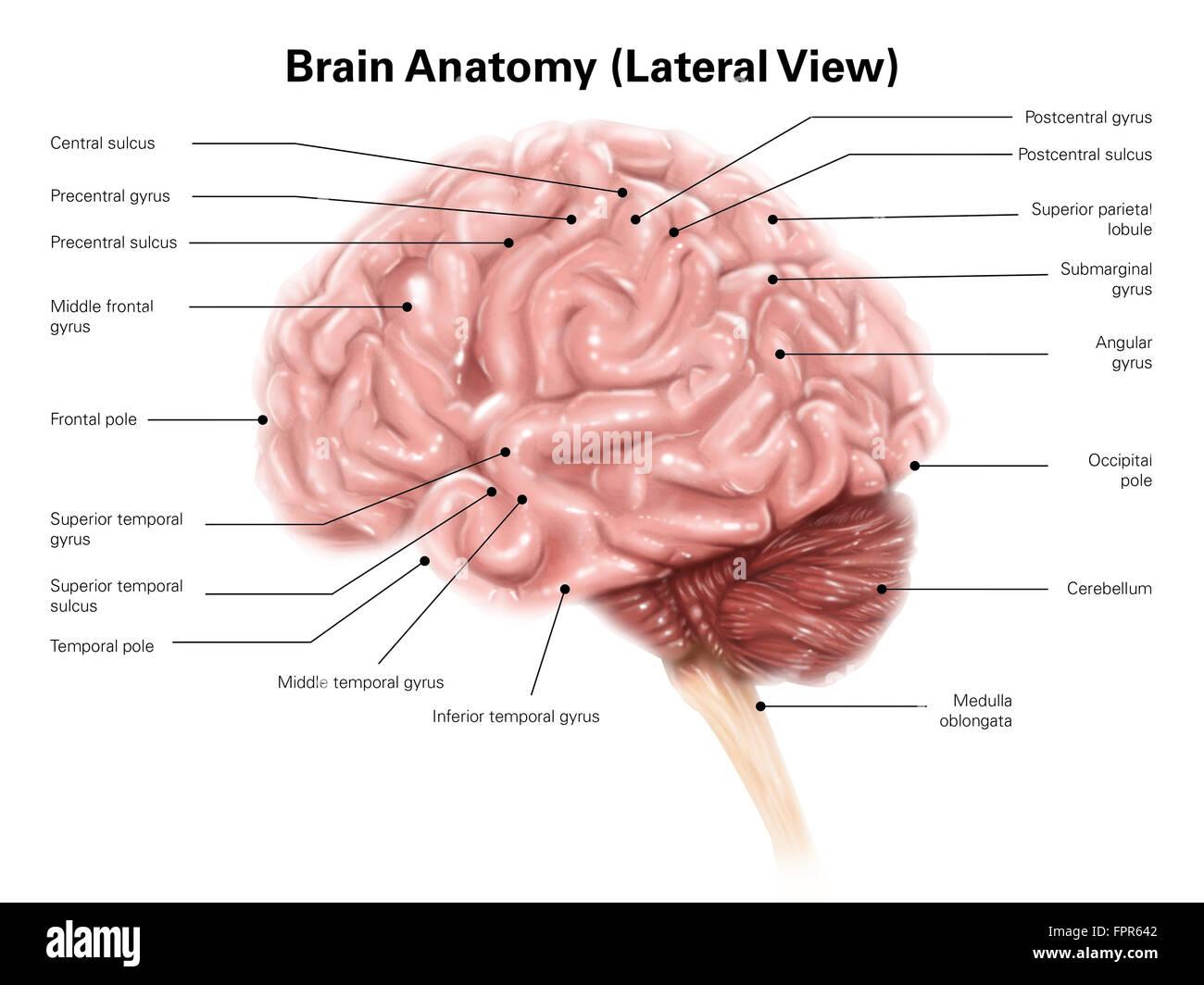 Anatomía del cerebro humano, vista lateral Foto & Imagen De Stock ...