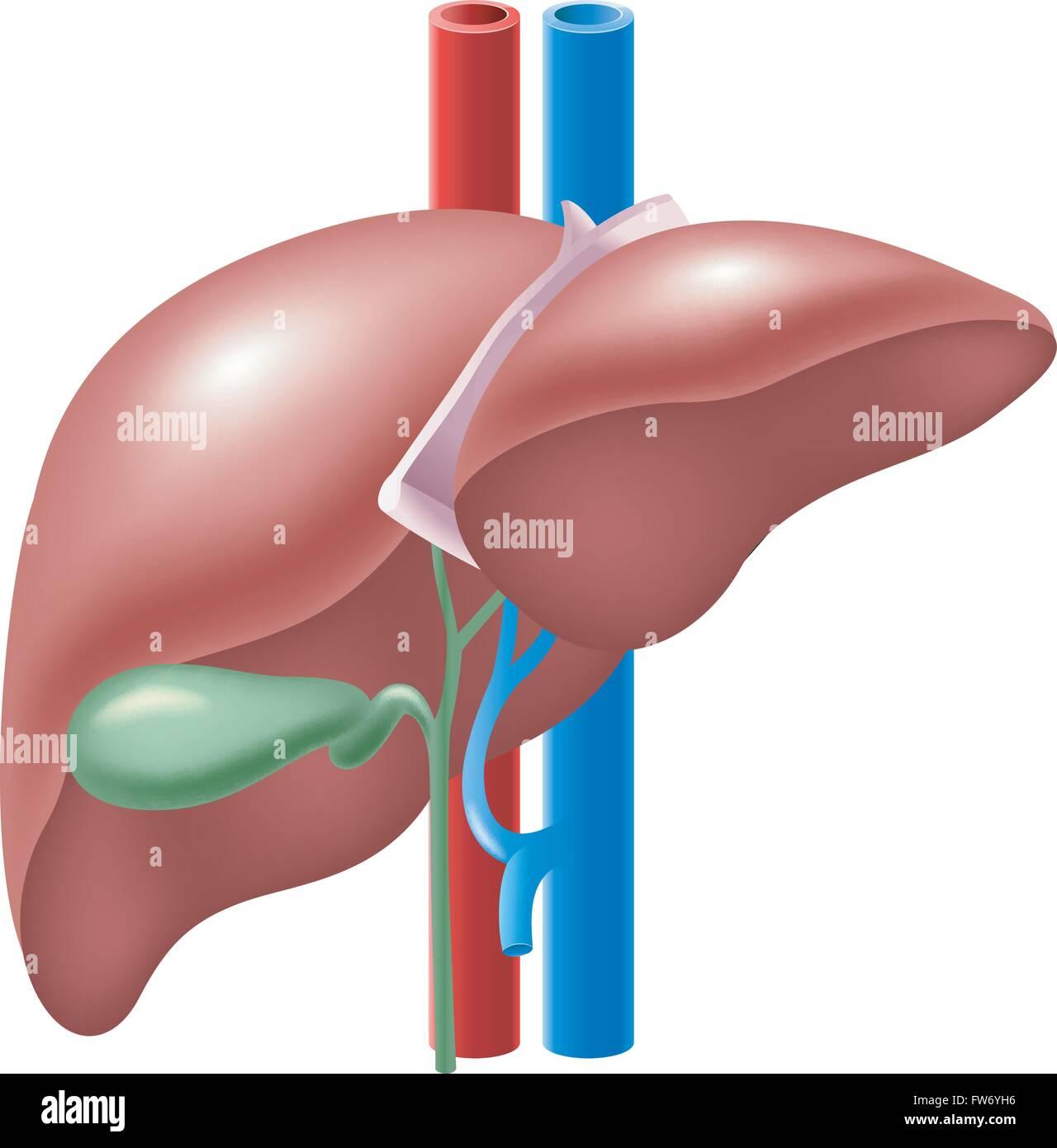 Ilustración del hígado y de la Vesícula Biliar Humana Ilustración ...