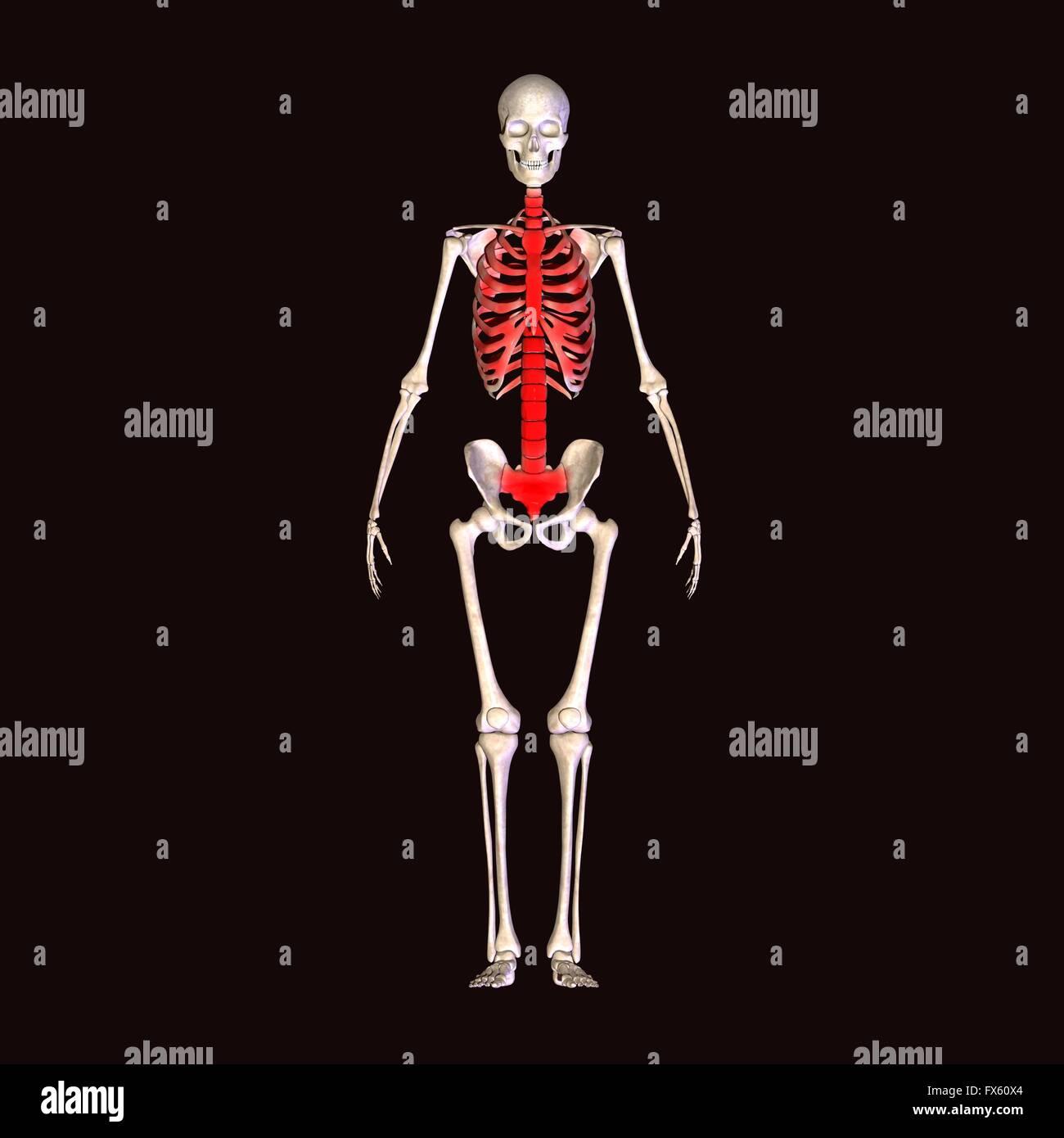 El cuerpo humano, completo, esqueleto, anatomía, medicina, ray ...