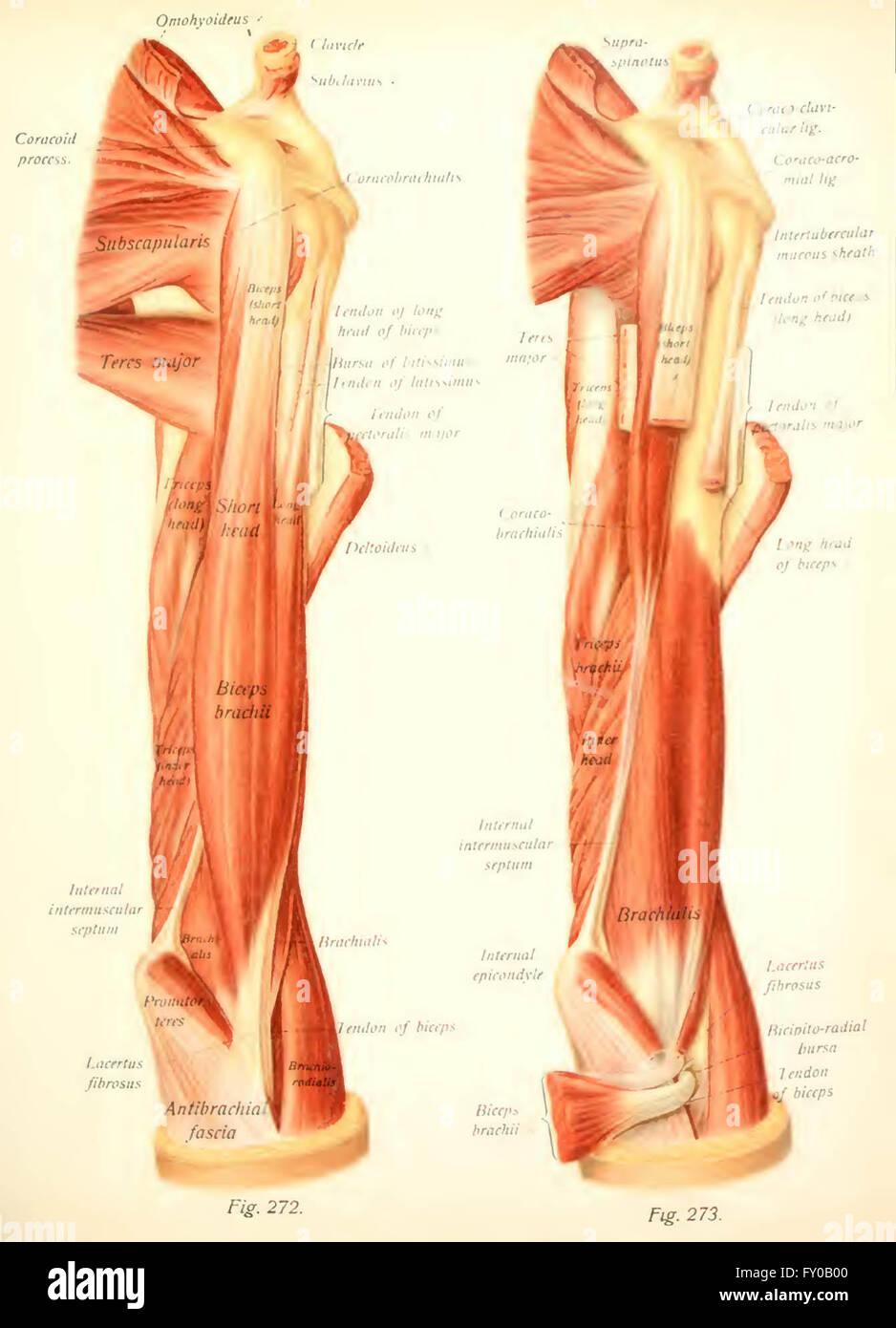 Atlas y libro de texto de anatomía humana por Sobotta, Johannes ...