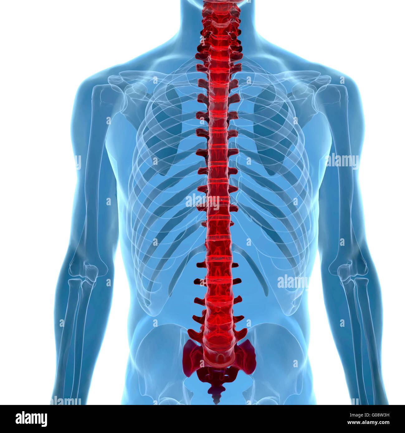 Anatomía de la columna vertebral en vista de rayos x Foto & Imagen ...