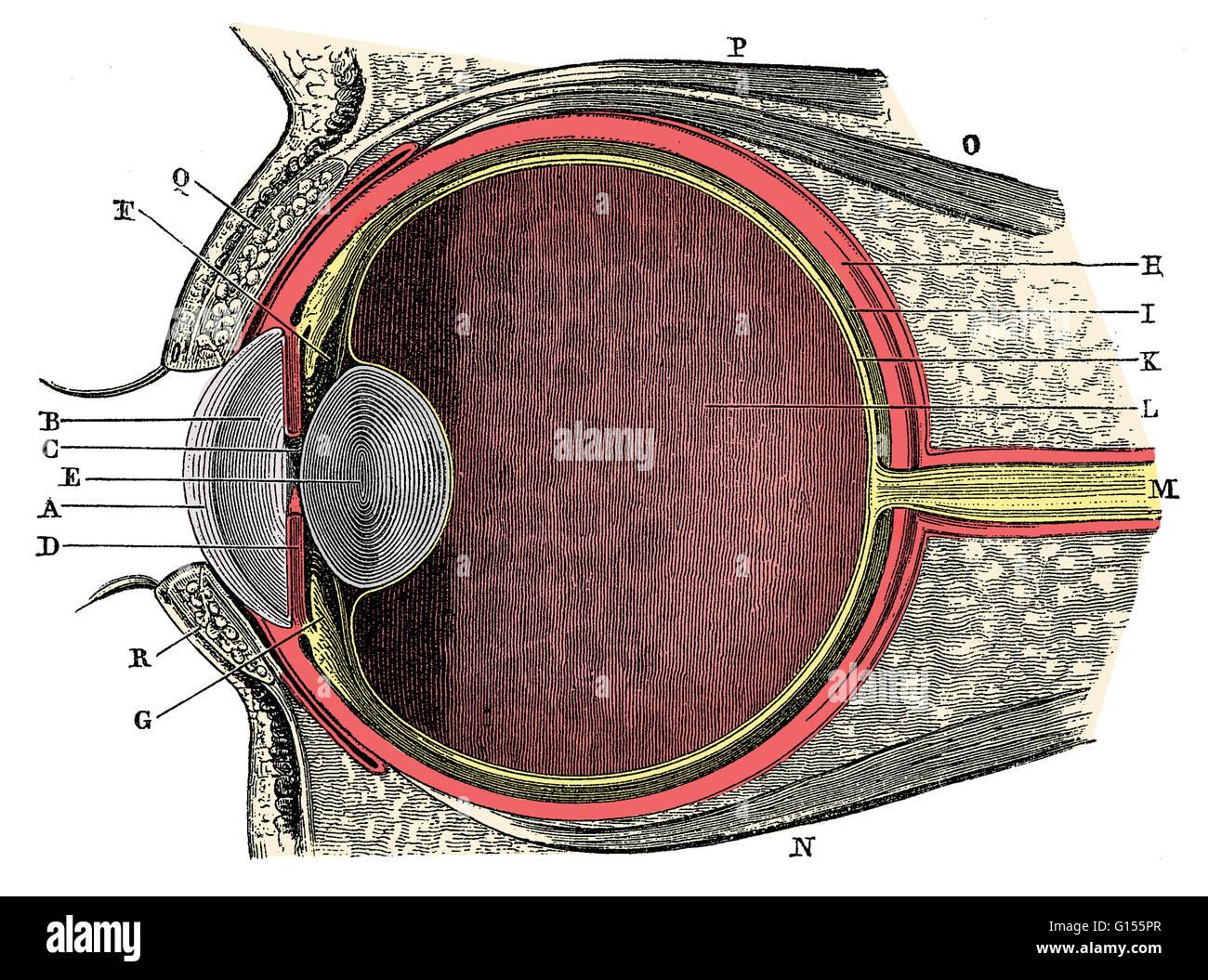 Anatomía del ojo humano. La Córnea (A), (B) el humor acuoso, el iris ...