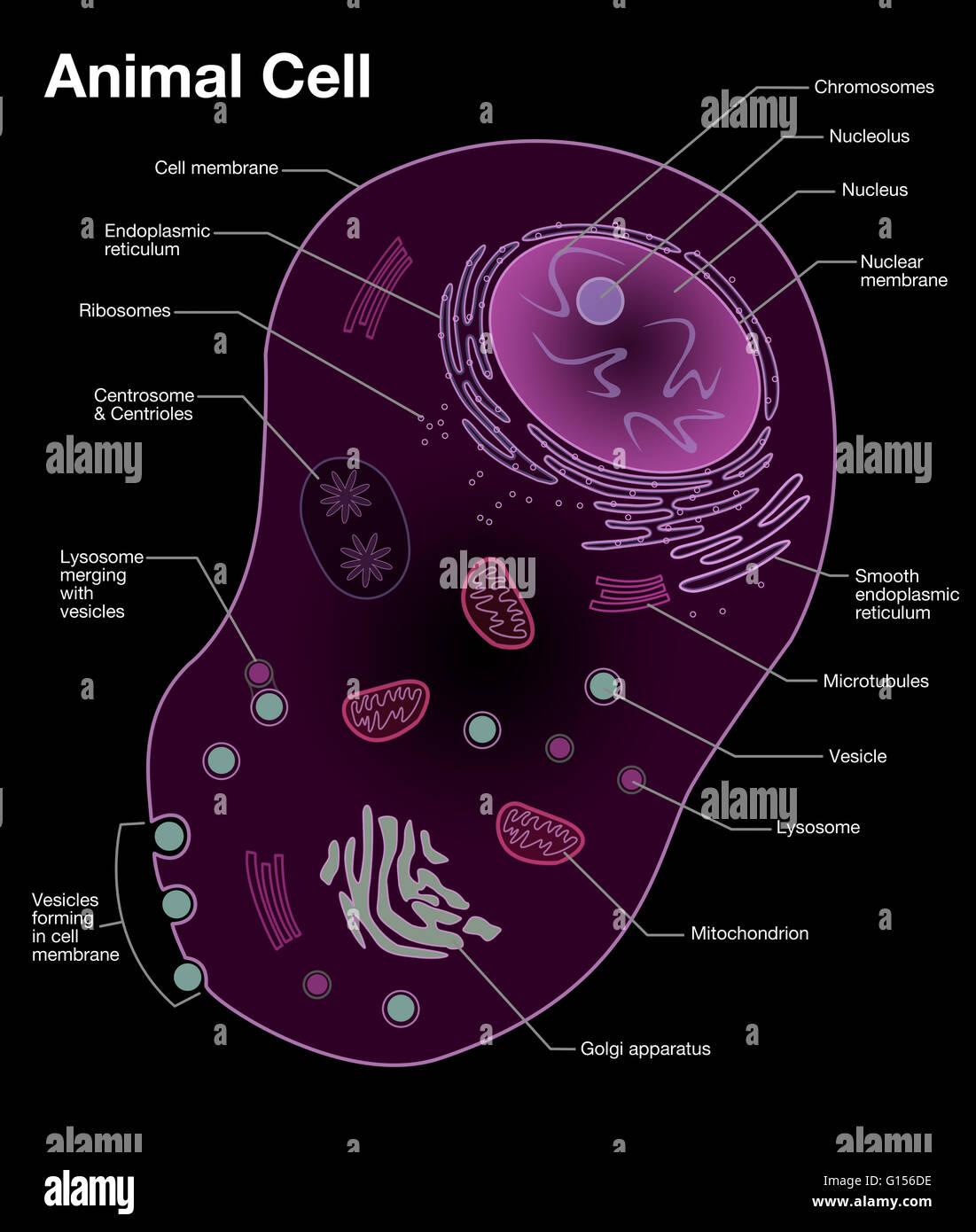 Diagrama de una célula animal típica, con las características ...