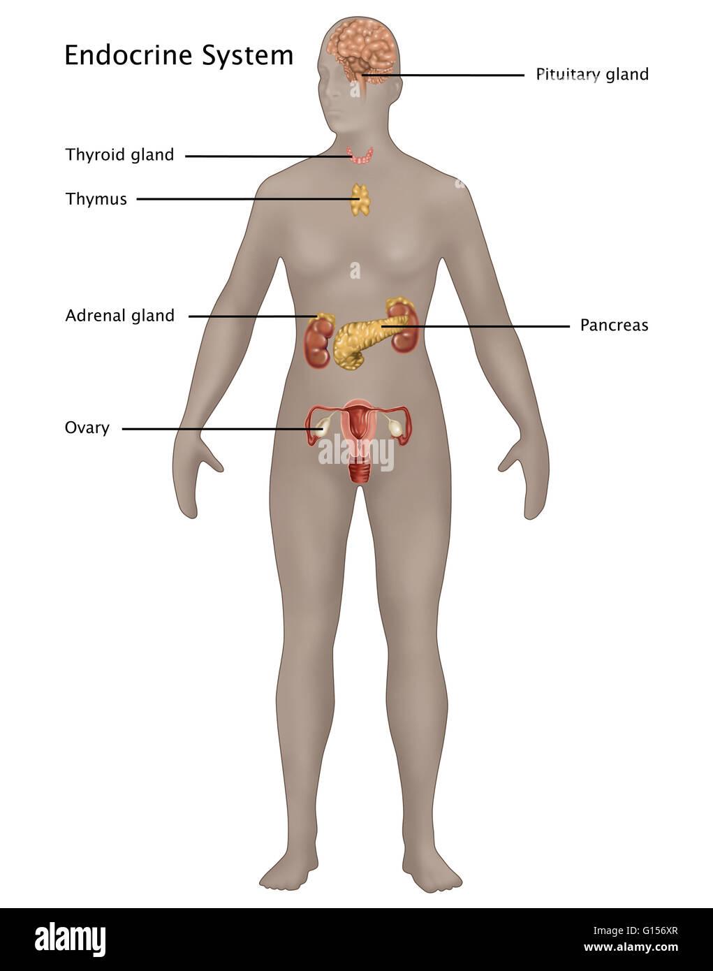 Ilustración del sistema endocrino en la anatomía femenina. Ilustrado ...