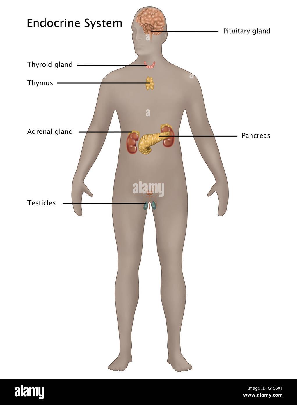 Ilustración del sistema endocrino en la anatomía masculina ...