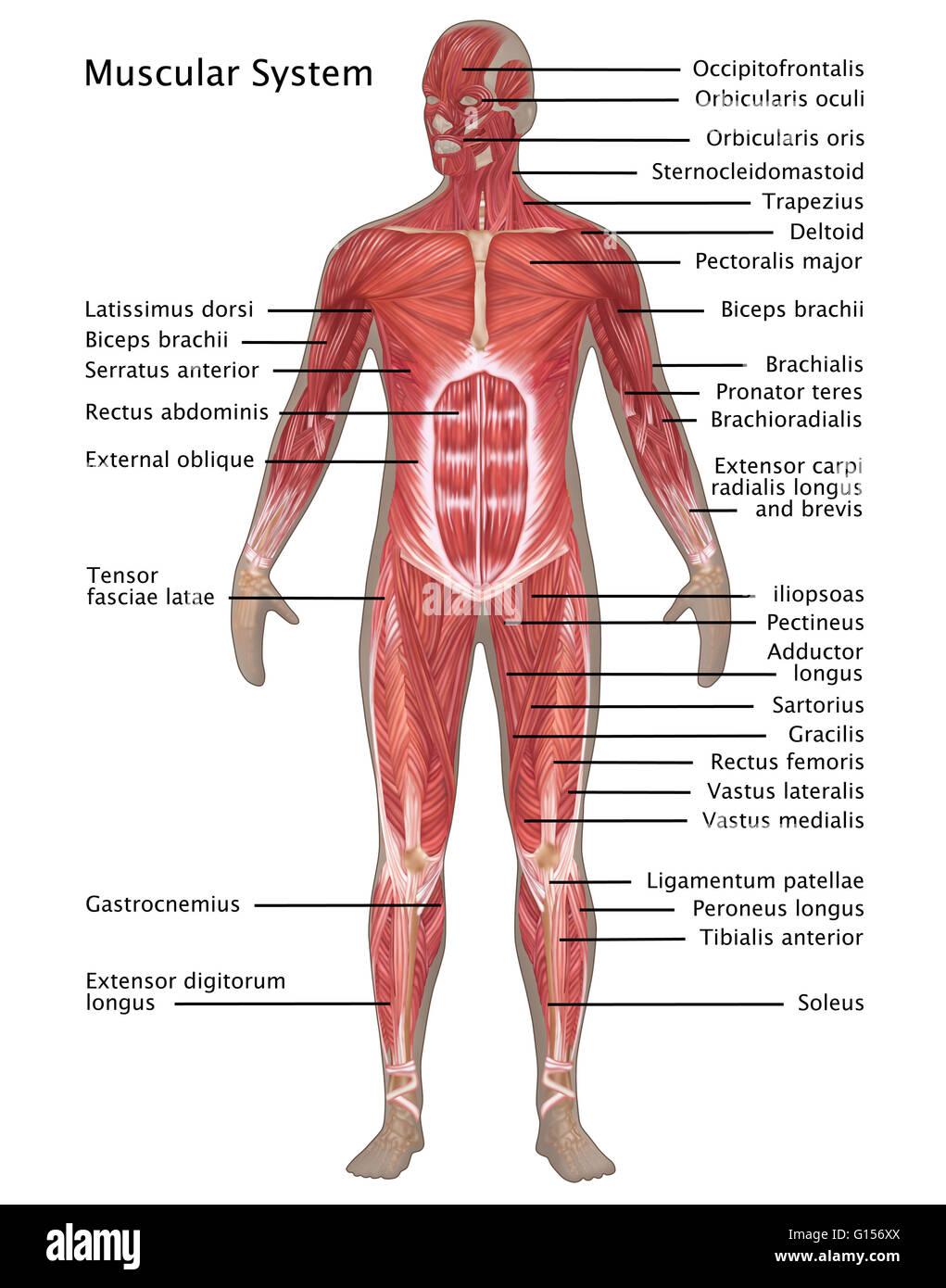 Ilustración del sistema muscular en la anatomía masculina ...