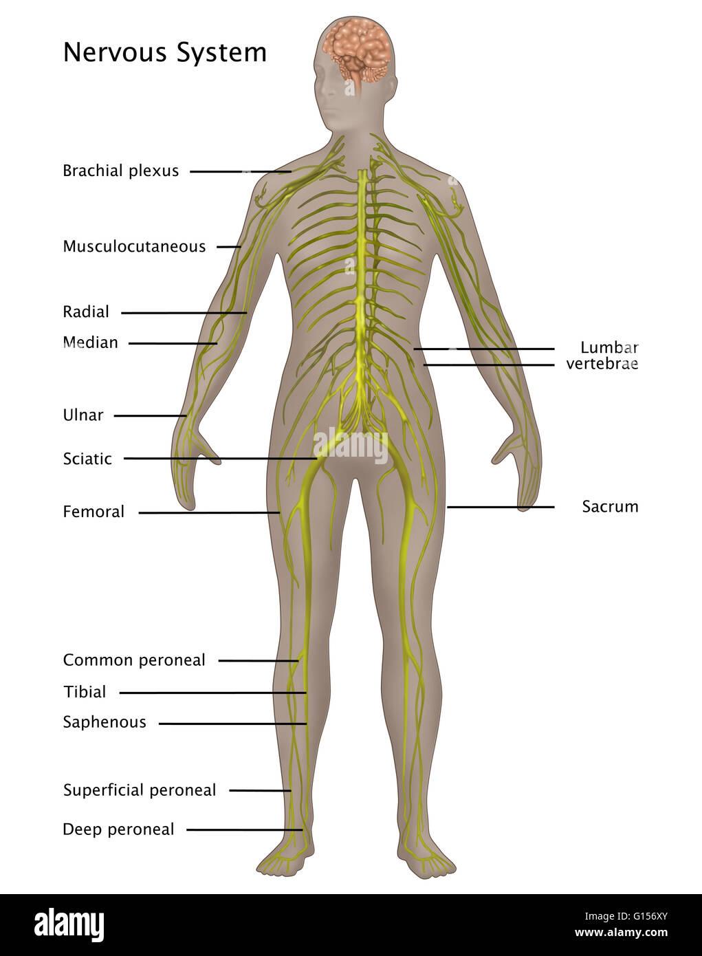 Ilustración del sistema nervioso en la anatomía femenina. Etiquetado ...
