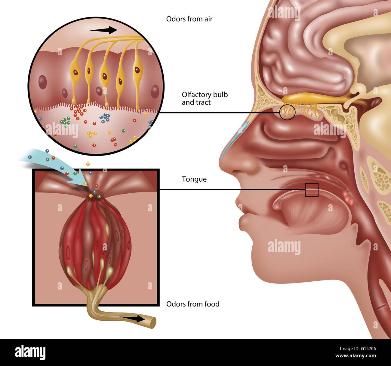 Ilustración de la anatomía del olfato. La percepción del olfato ...