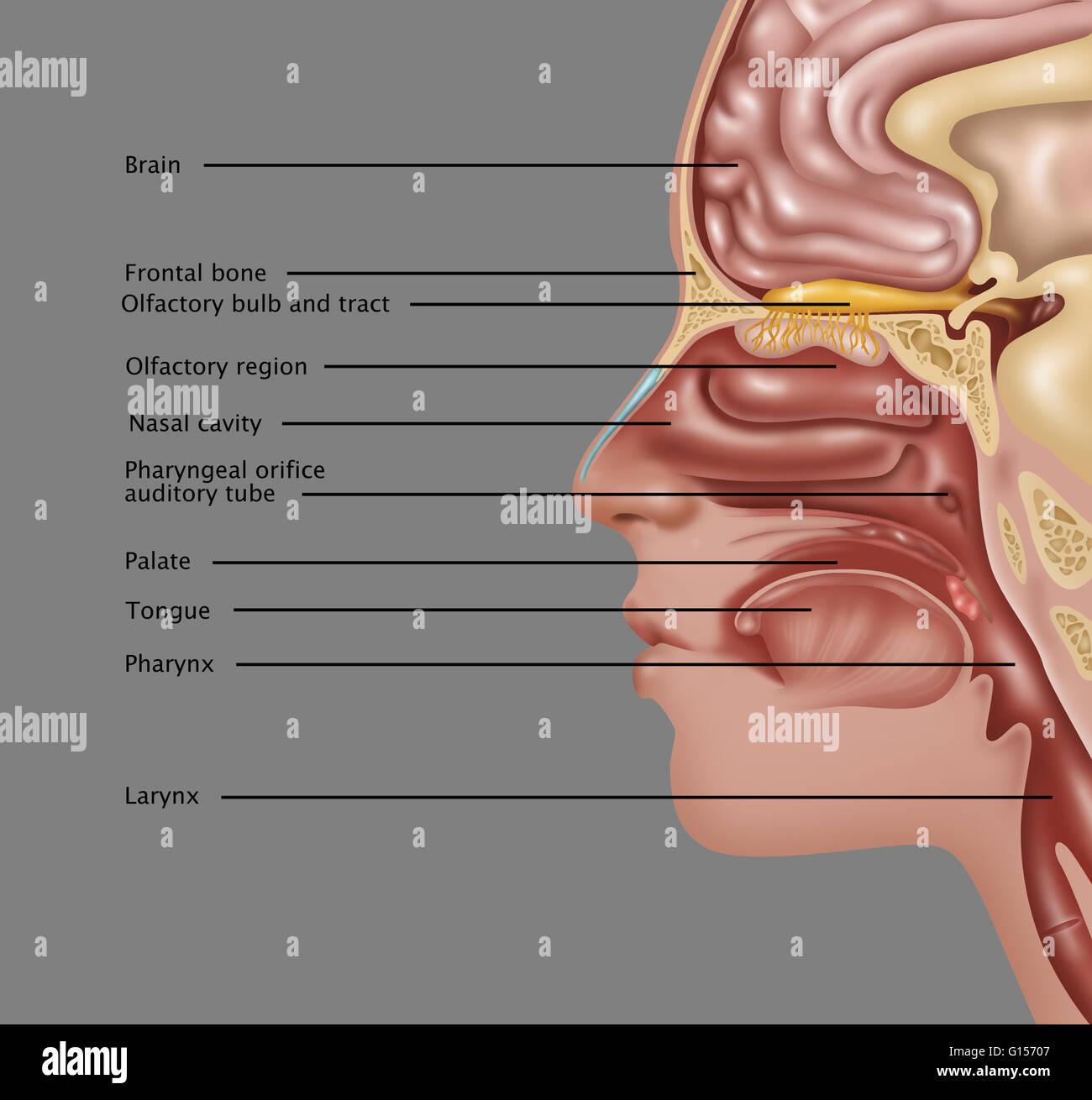Ilustración de la anatomía de la usada en el sentido del olfato. Las ...