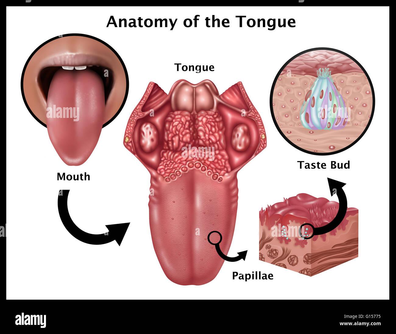 Ilustración mostrando la anatomía del gusto. En el oriente es una ...