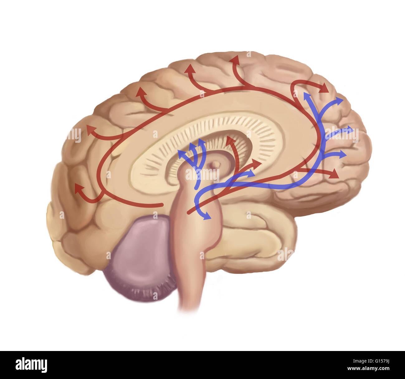 Ilustración mostrando vías nerviosas en el cerebro Foto & Imagen De ...