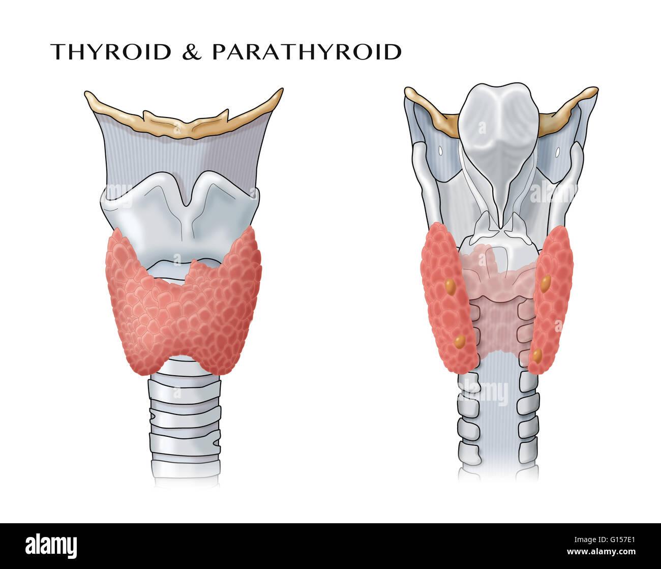 Ilustración anatómica de las glándulas tiroides y paratiroides Foto ...