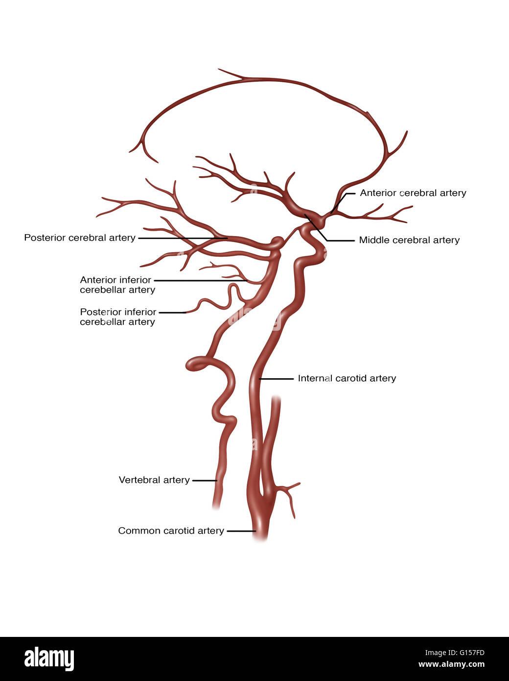 Ilustración mostrando las arterias de la cabeza. Señaló a la derecha ...