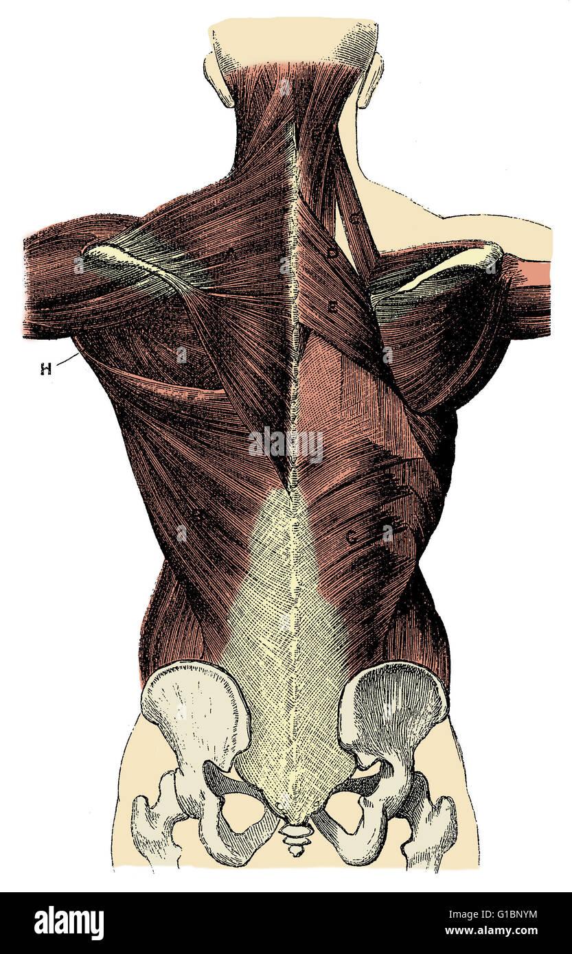 Etiquetado ilustración de los músculos de la espalda humana ...