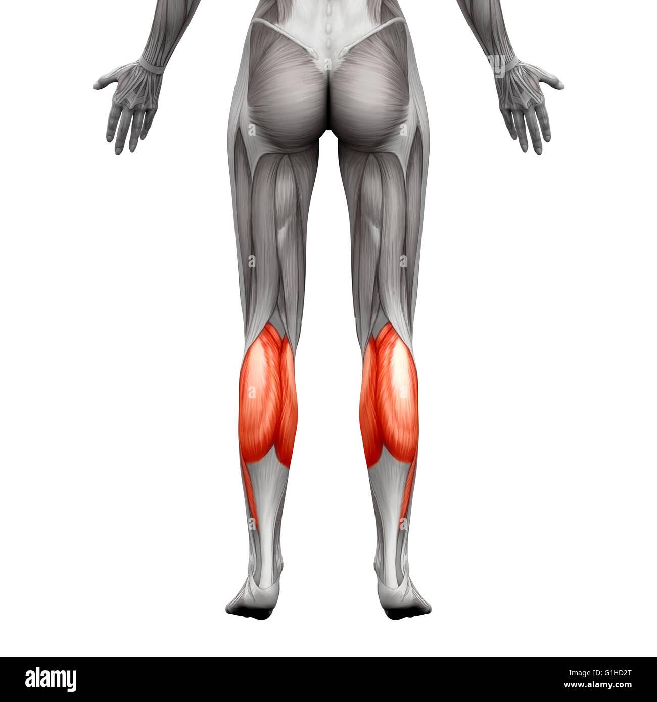 Músculo de la Pantorrilla - Anatomía músculo gastrocnemio, Plantar ...