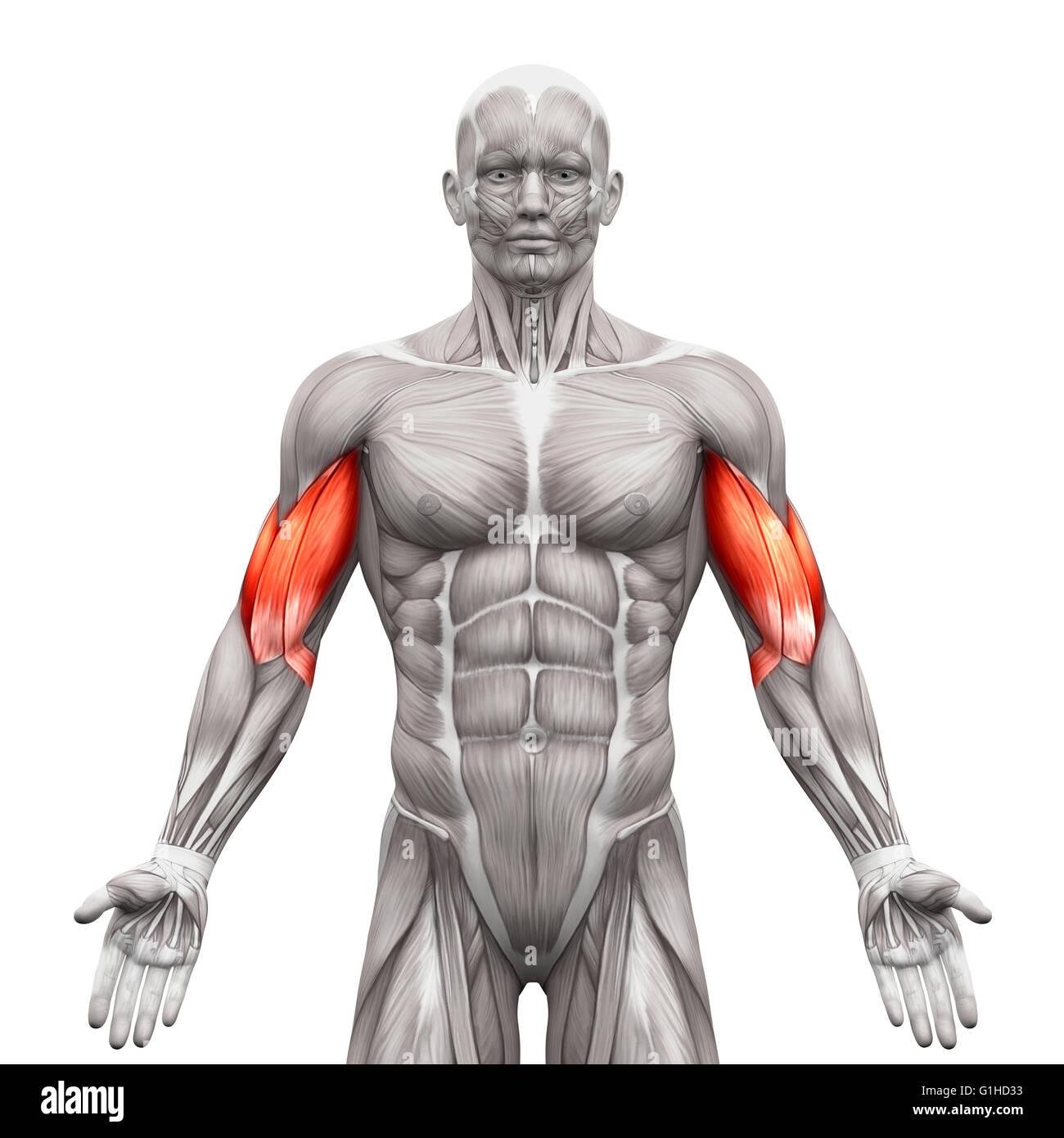 Anatomía Los músculos bíceps músculos - aislado en blanco ...