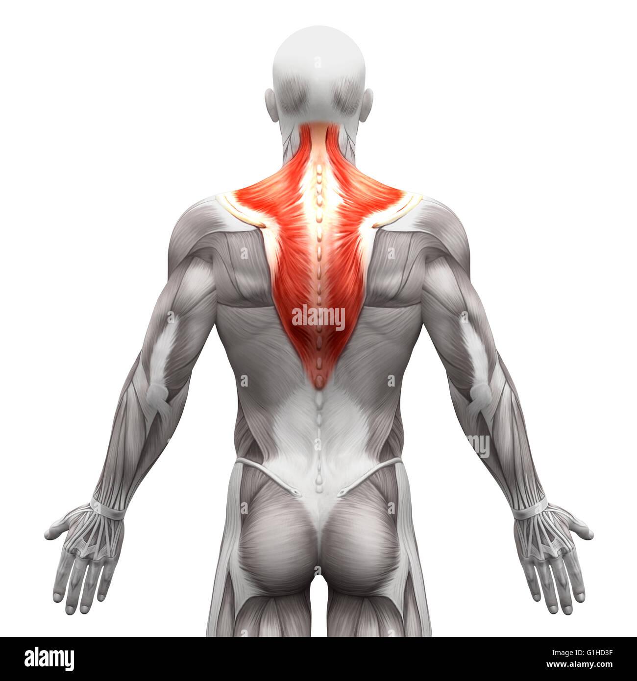 Trapecio músculo - Anatomía músculos aislados en blanco ...