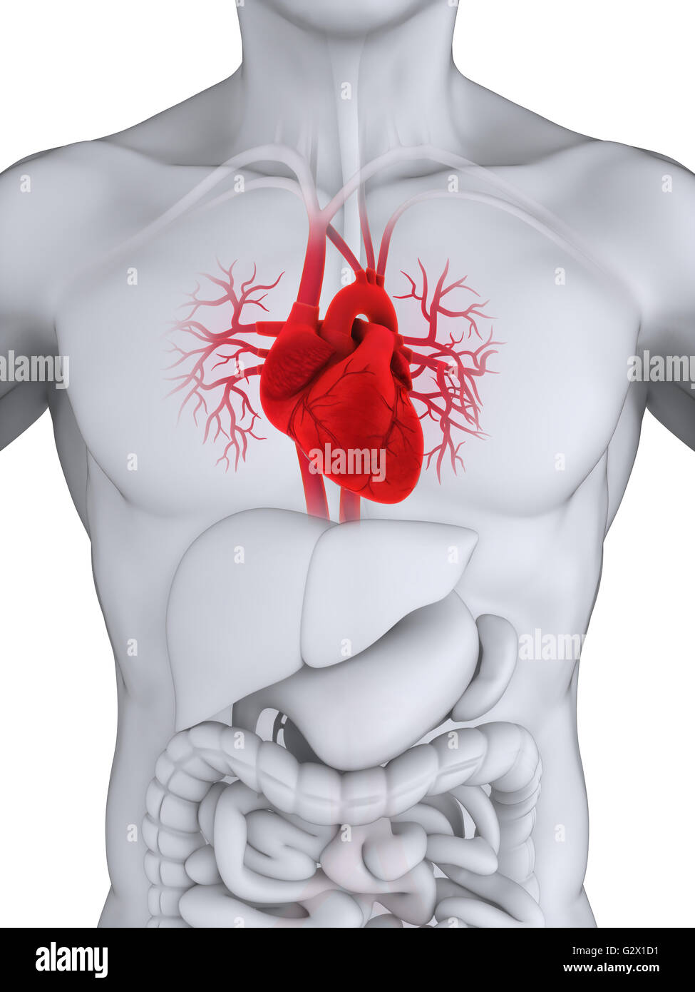 Anatomía del corazón humano Foto & Imagen De Stock: 105063421 - Alamy
