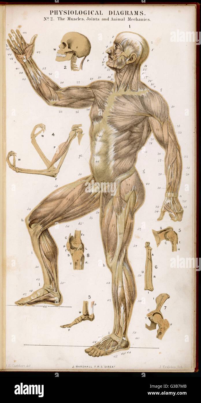Diagrama fisiológica de los músculos, las articulaciones y el animal ...
