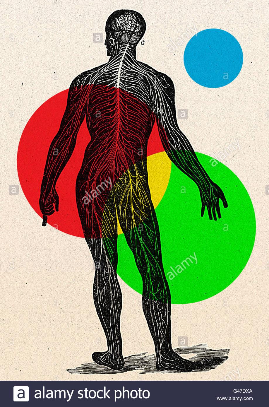 Diagrama médico retro ilustración de figura humana hombre mujer ...