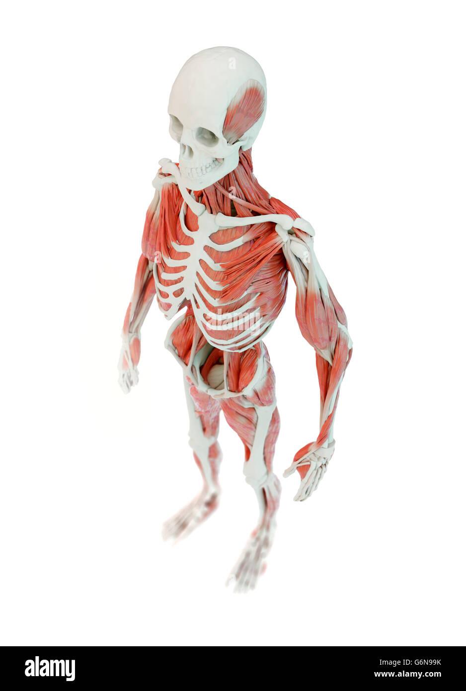 Detallada anatomía humana muscular profunda ilustración Foto ...