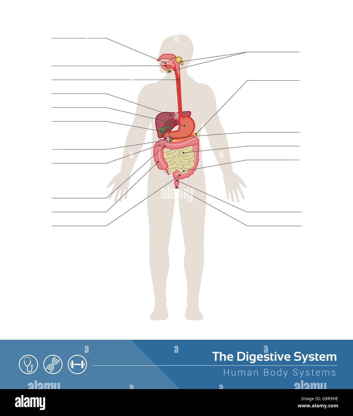 El sistema digestivo humano ilustración médica con órganos internos ...