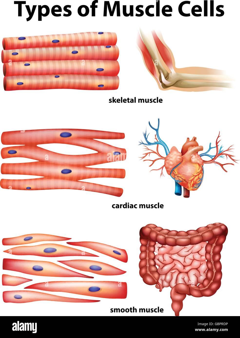 Diagrama que muestra los tipos de células musculares ilustración ...