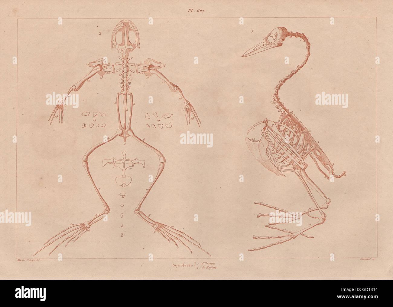 Anatomía: Squelette Oiseau & reptil. Aves y reptiles antiguos ...