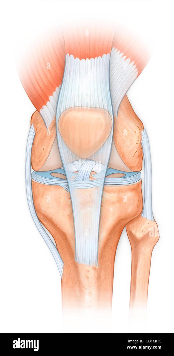Anatomía Normal de la articulación de la rodilla, ligamento ...