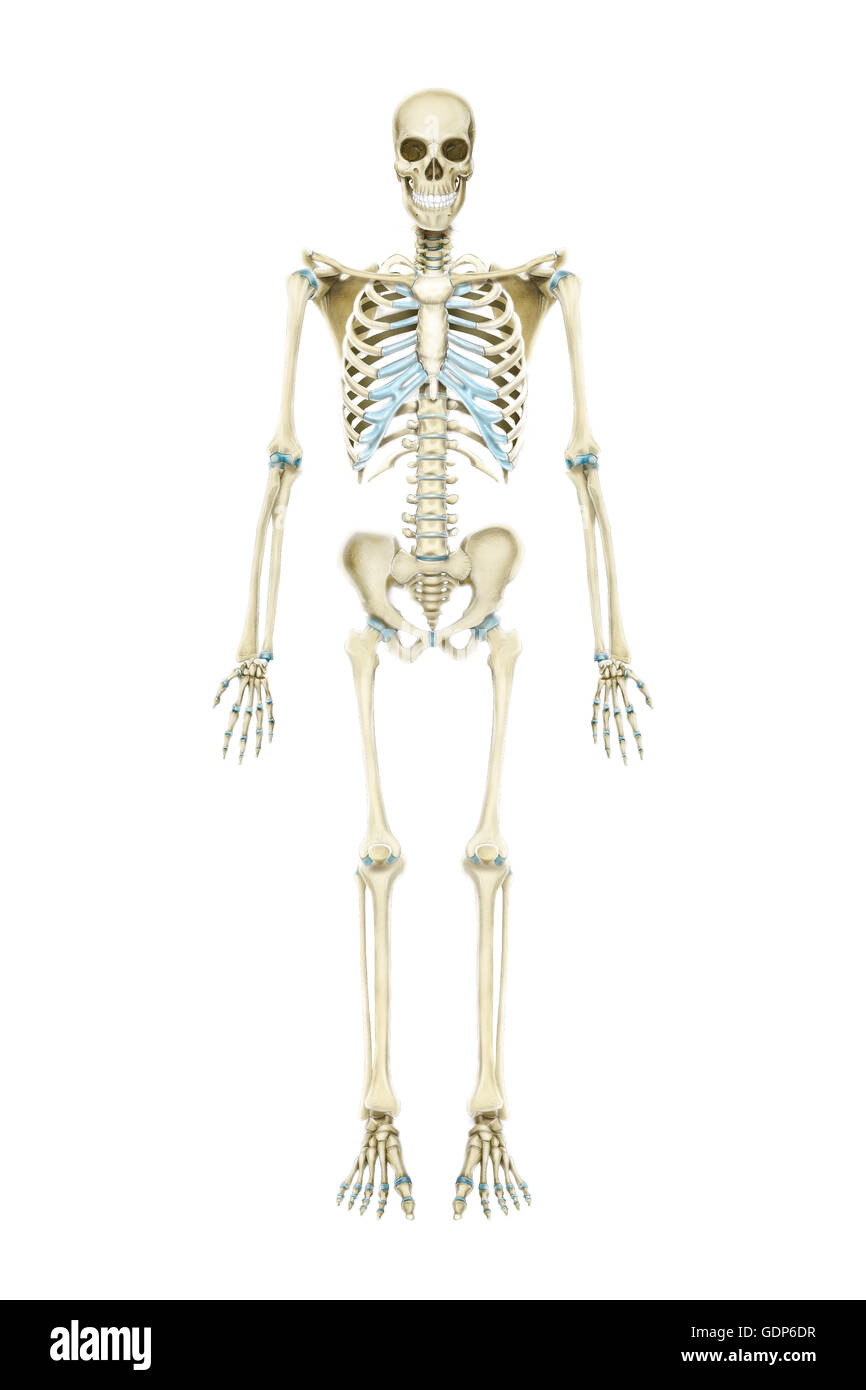 Vista anterior del esqueleto humano Foto & Imagen De Stock ...