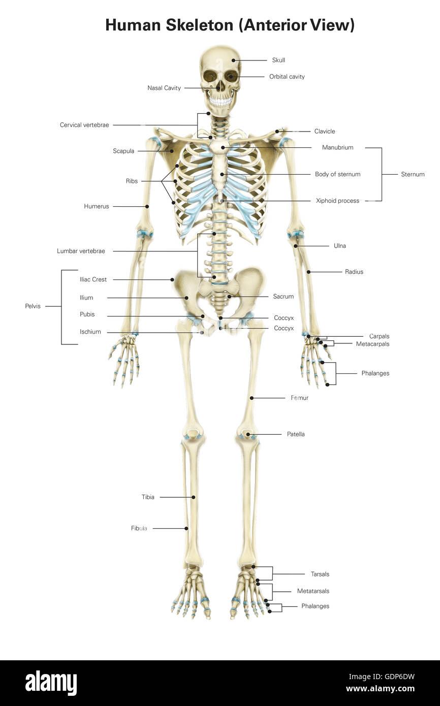 Vista anterior del esqueleto humano, con etiquetas Foto & Imagen De ...