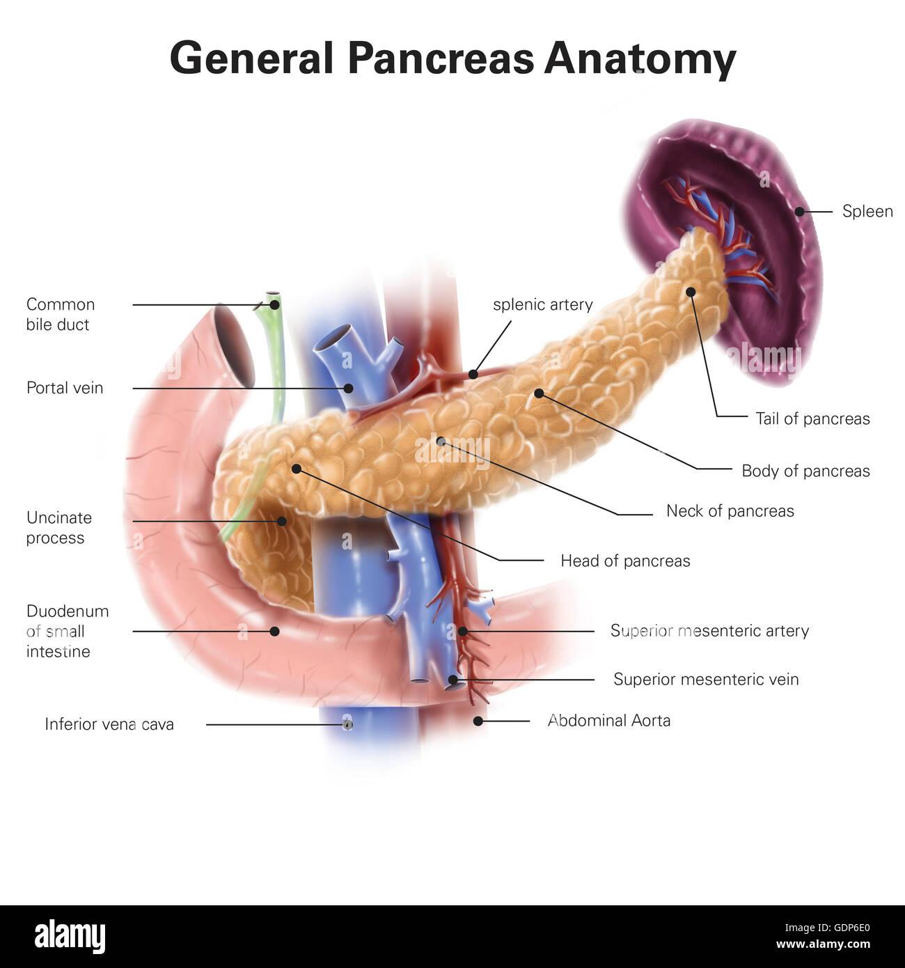 Anatomía del páncreas humano, con etiquetas Foto & Imagen De Stock ...