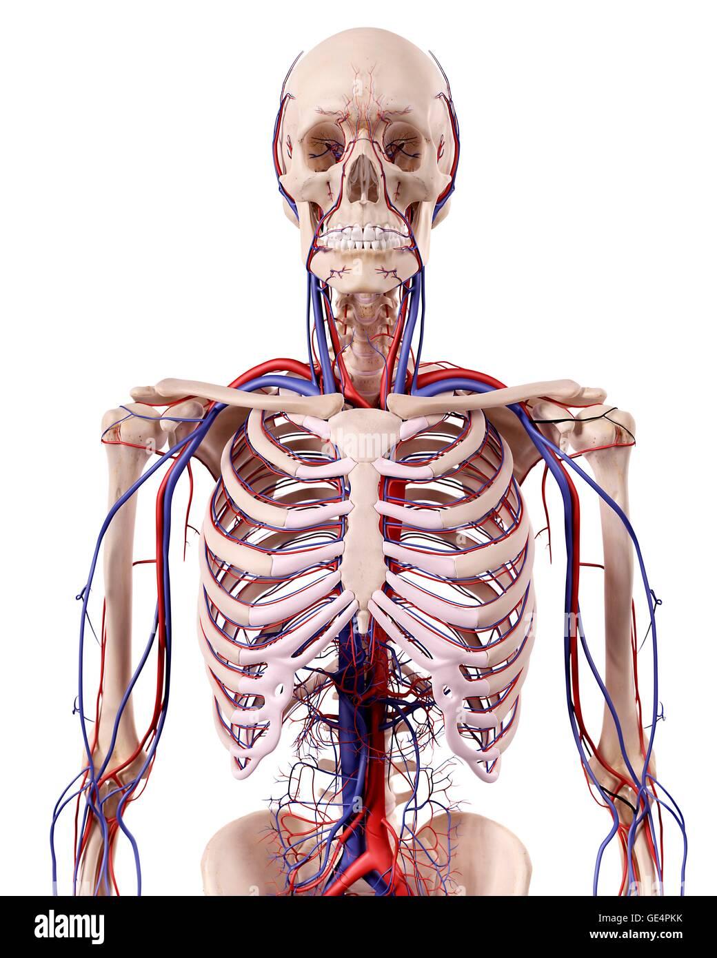 Anatomía torácica humana, ilustración Foto & Imagen De Stock ...
