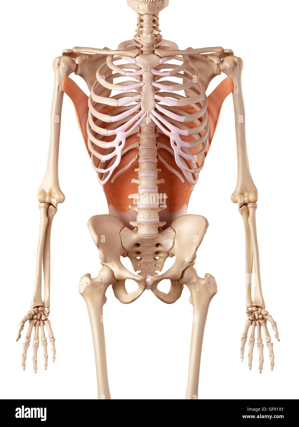 Músculos de la espalda humana, ilustración Foto & Imagen De Stock ...