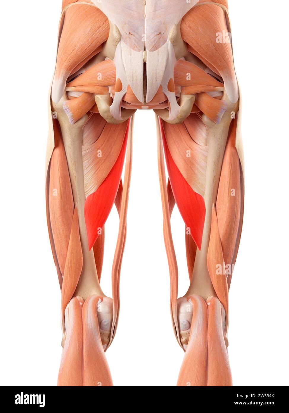 Sistema muscular humano de las piernas, la ilustración Foto & Imagen ...