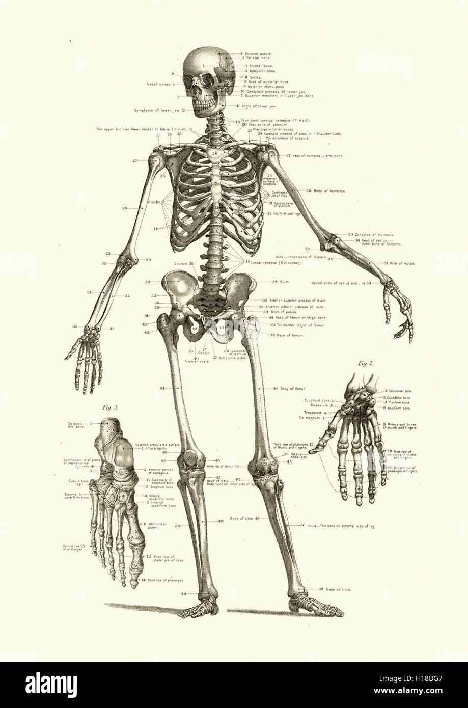 Esqueleto Humano, mostrando los huesos del cuerpo Foto & Imagen De ...