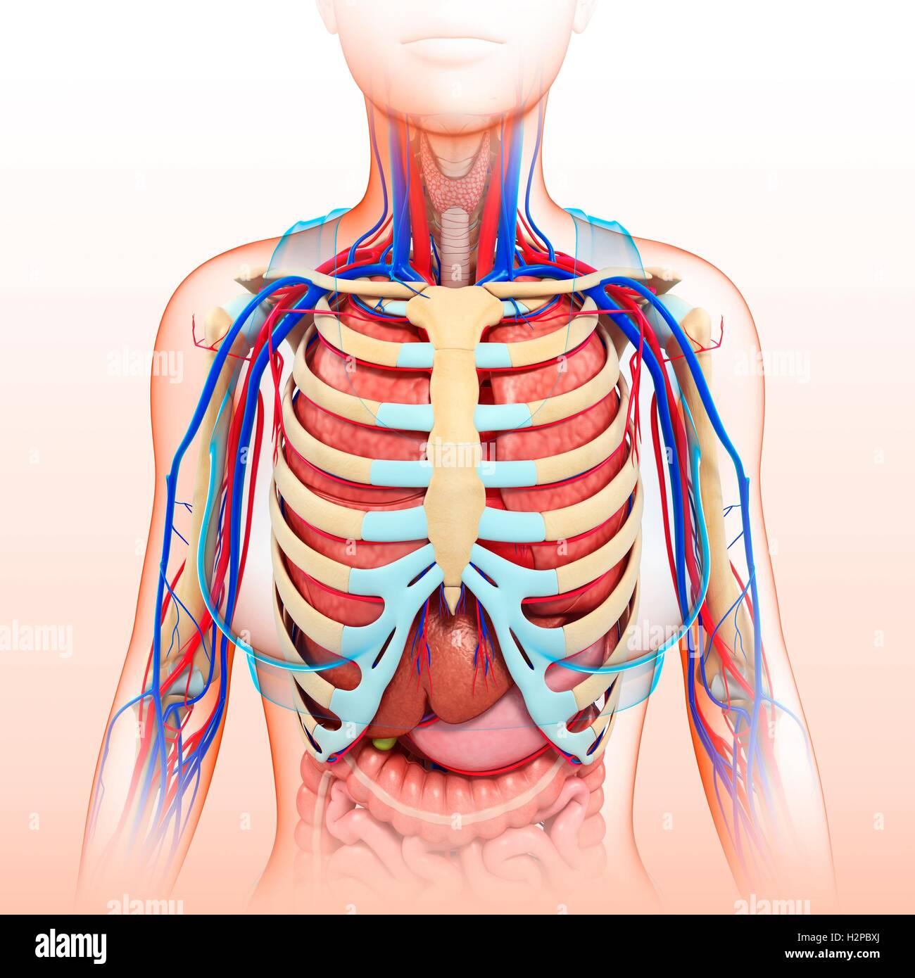 Ilustración de pecho femenino órganos, vasos sanguíneos y sistema ...