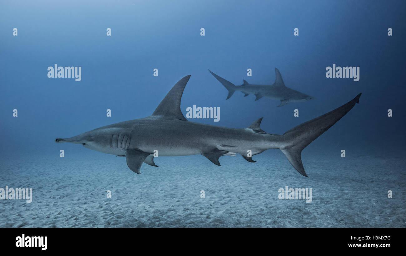 Vista submarina de grandes tiburones martillo, Jupiter, Florida, EE ...