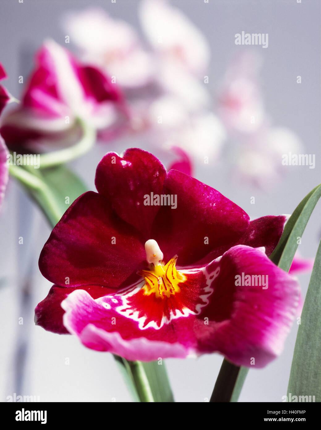 Orchid Blossoms Blur Miltonia Flores Plantas Exoticas