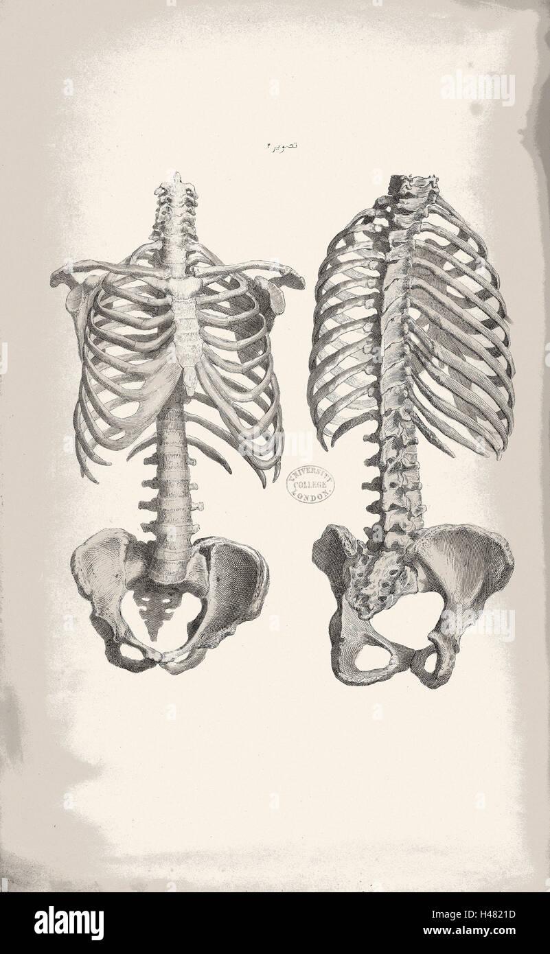 Ilustración de huesos del tronco del cuerpo humano Foto & Imagen De ...