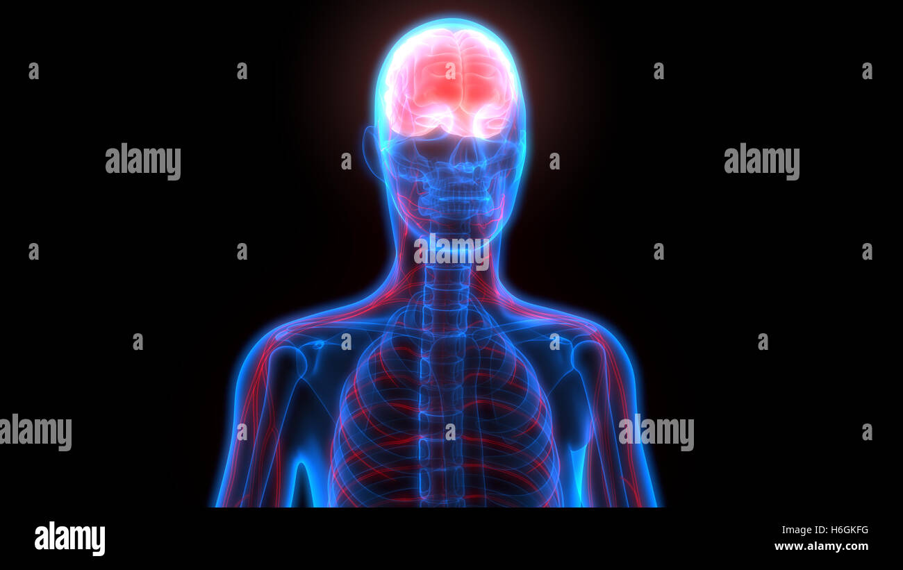 El cerebro humano con la anatomía del sistema nervioso Foto & Imagen ...