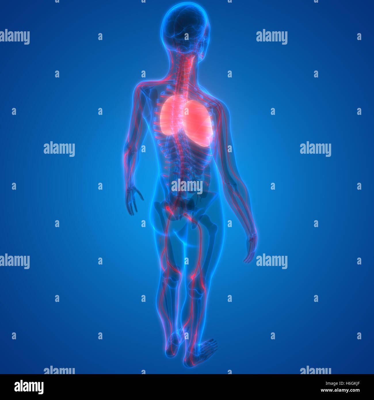 Los pulmones Sistema respiratorio humano con la anatomía del sistema ...
